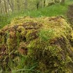 Mossy tree stump