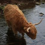 Highland cow in stream
